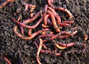 Важно обеспечить дождевым червям доступ к компосту, они ускорят процесс перегноя