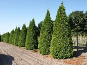 Удобрения для хвойных растений применяют для подкармливания туи в период с мая по сентябрь