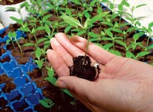 Успешная технология выращивания перца в обеспечении для рассады развития без стрессов