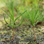 Как посадить сосну на участке