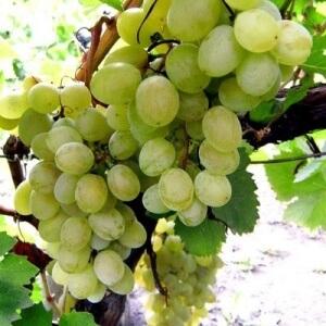 Данный сорт нуждается в обрезке, но перед началом осуществления этого процесса нужно ознакомиться с частями виноградной лианы