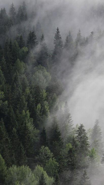 Сосна в тумане