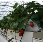 Правильное выращивание клубники на гидропонике