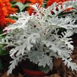 Цинерария морская: секреты выращивания и ухода за ней
