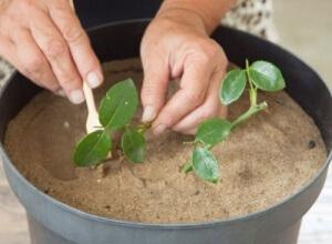Розы из черенков выращиваются в цветочных горшках до тех пор, пока не будут готовы к посадке в открытый грунт