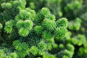 хвойные растения