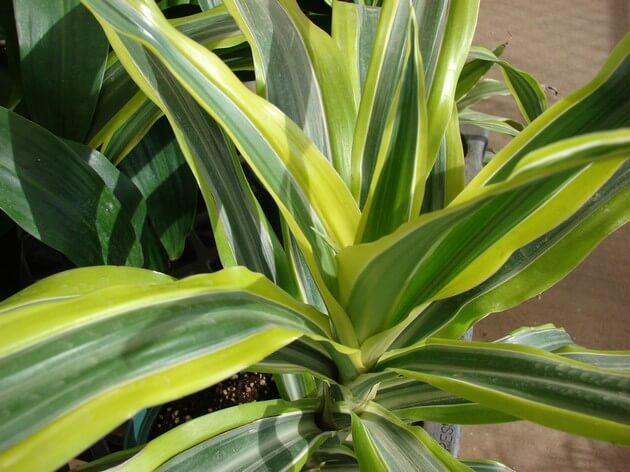 Уход и пересадка растения Драцена и возможные проблемы при выращивании
