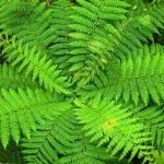 Разнообразие садовых папоротников: уход за растением и методы размножения