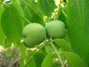 орех на дереве