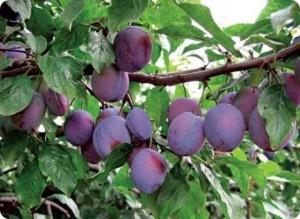 сливы плоды