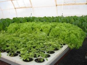 Выращивание зелени в теплице выгодно тем, что ее можно садить плотно и в больших количествах