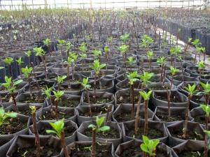 Как правильно выращивать яблони на карликовом подвое