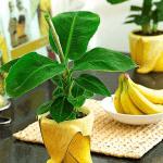Как посадить банан дома и в саду?