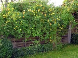 Если вы решите посадить клематис тангутский у себя на участке, то он может принять форму вьюна