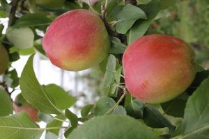 Плодоносить яблоня сорта Чудное начинает спустя три года