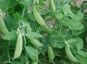 Молодой зеленый горошек