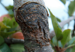 Всегда удаляйте больные ветки у дерева