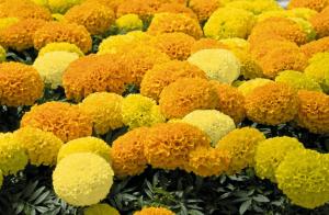 Желтые шарики махровых бархатцев
