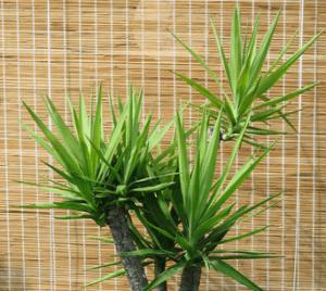Южное растение хорошо себя чувствует везде