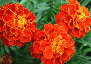 Яркие бархатистые соцветия