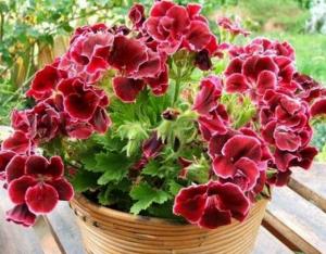 Новые виды пеларгонии обильно цветут