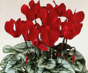Эффектно смотрятся красные цветки на фоне листьев с зимней проседью