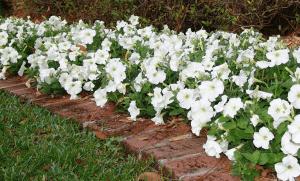 Оформление дорожки белой петунией
