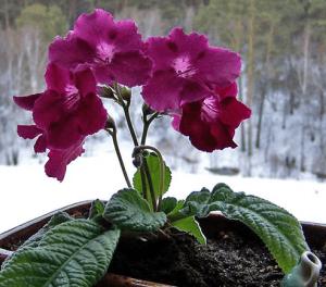 Бругмансия бордовая на окне цветет зимой