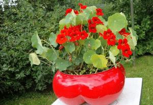 Алая настурция в красном вазоне