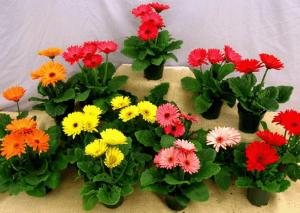 Разноцветье в горшочках