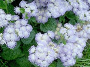 Цветение агератума