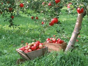 Плодоносящий яблоневый сад