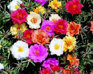 Множество расцветок портулака