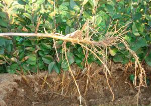 Образование и рост корней отводков яблони.