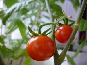 На сегодняшний момент существует огромное количество сортов помидор