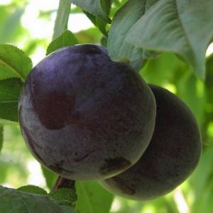 Чтобы появились такие плоды, необходимо подкармливать дерево каждую весну