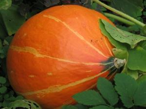Выращивание рассады тыквы начинают в конце апреля
