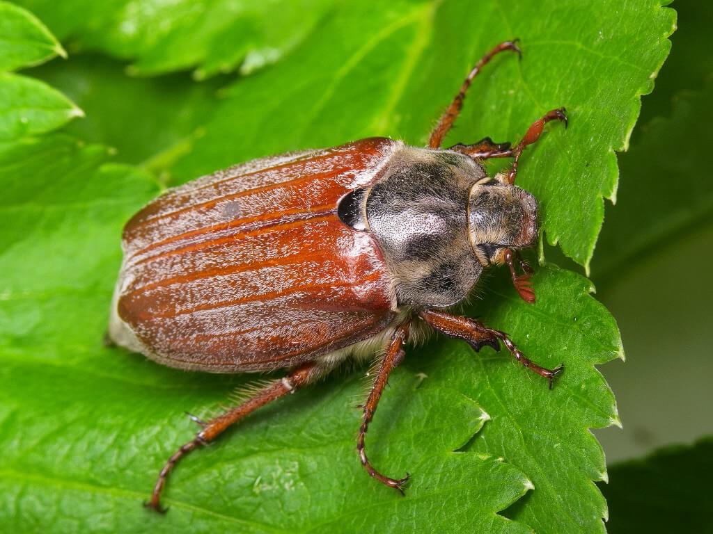 Борьба с майским жуком: советы и рекомендации