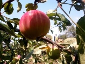 Если подрезать ветки, то плоды получат больше света