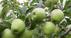 Веточки яблони очень хрупкие