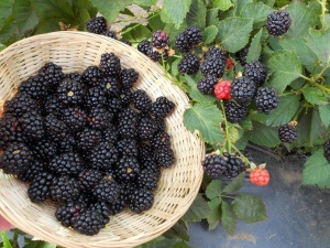 В ягодах ежевики содержится большое количество витаминов