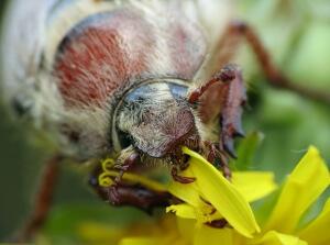 Майские жуки могут питаться и кукурузой