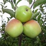 Сорт яблок Семеренко: и вкусно, и полезно