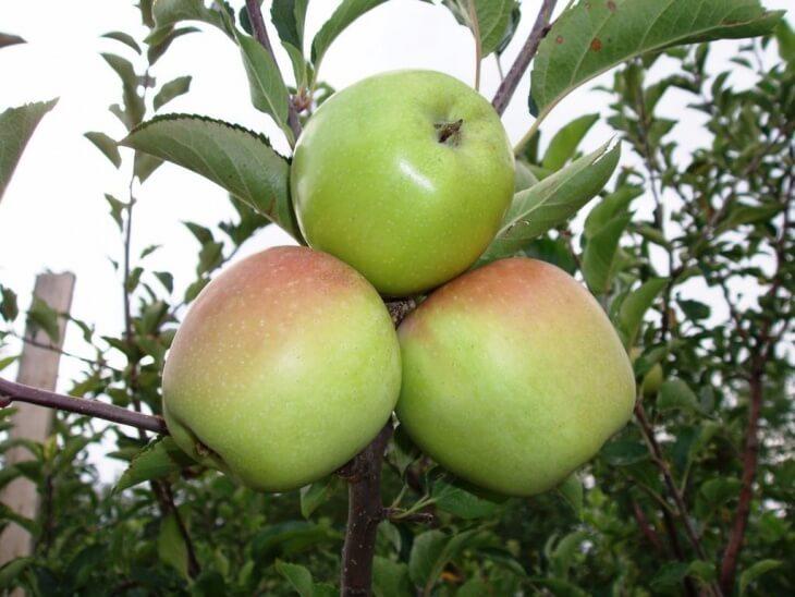 При правильном уходе яблоня порадует вот такими плодами