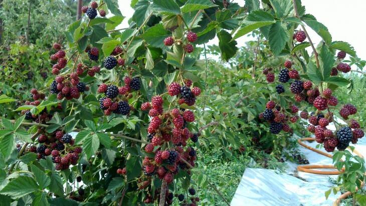 Выращивание ежевики на украине 75