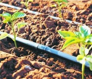 Магистрали капельного полива обычно прокладываются по почве