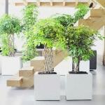 Тропический кустарник Шеффлера: размножение и выращивание