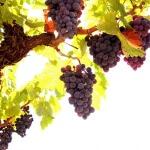 Известные сорта винограда в холодах Сибири