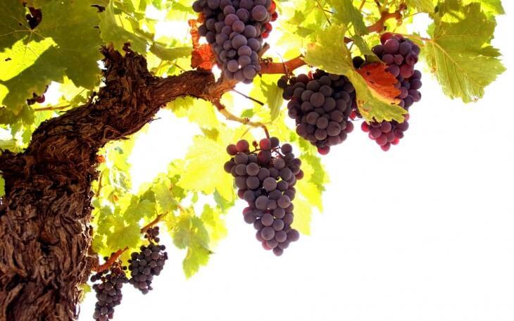 Виноград напоминает лианы