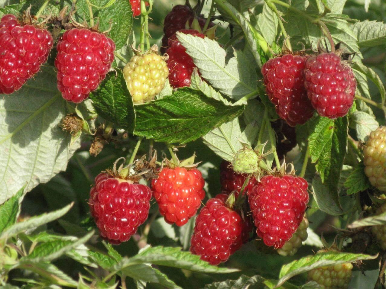 Сорт малины Бабье лето — уход и размножение